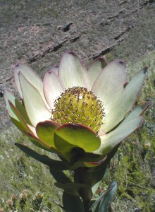 Leucadendron elimense nova - Photo: Nigel Forshaw