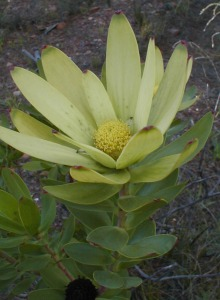 Leucadendron elimense salteri - Photo: Nigel Forshaw
